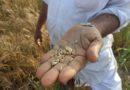 मध्य प्रदेश में एमएसपी पर 43 हजार टन गेहूँ की खरीदी