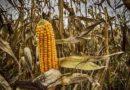 राजस्थान कृषि मंत्री का केन्द्र से एमएसपी पर मक्का खरीद की अनुमति का आग्रह