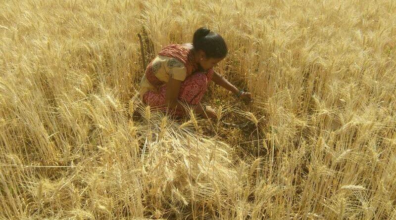 मध्य प्रदेश में रबी फसलों की ख़रीदी समर्थन मूल्य पर 15 अप्रैल से