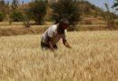350 करोड़ रूपए किसानों के खातों में पहुँचेंगे: मध्य प्रदेश