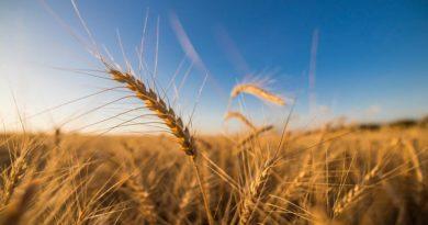 मध्य प्रदेश : किसानों को गेंहू ख़रीद के 1592 करोड़ का भुगतान हुआ