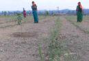 रायपुर : कोरिया जिले में फलदार पौधों के बीच लेमन ग्रास की खेती