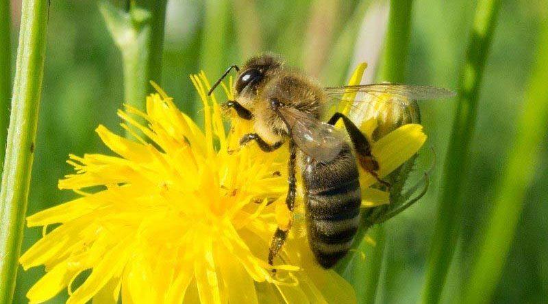 विश्व मधुमक्खी दिवस पर वेबिनार