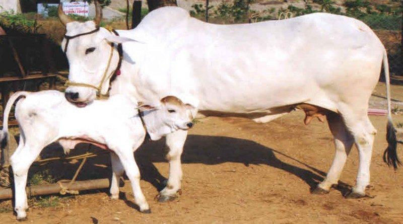 पशुपालन विभाग ने राजस्थान में पशुओं को रोगों से बचाने, पशुपालकों को राहत पहुंचाने के लिए किए व्यापक इंतजाम
