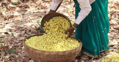 मध्य प्रदेश में अब तक 1380 क्विंटल महुआ फूल की न्यूनतम समर्थन मूल्य पर खरीदी