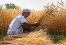 नरसिंहपुर जिले में किसानों को 48 करोड़ का भुगतान हुआ रबी खरीदा में