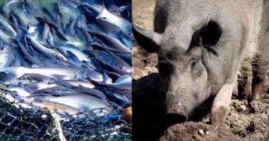 मछली – सुअर की एकीकृत कृषि प्रणाली