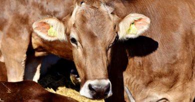 cow husbandry