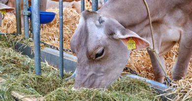 cow straw