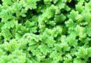 धान में नील हरित शैवाल से करें नत्रजन उर्वरकों की बचत