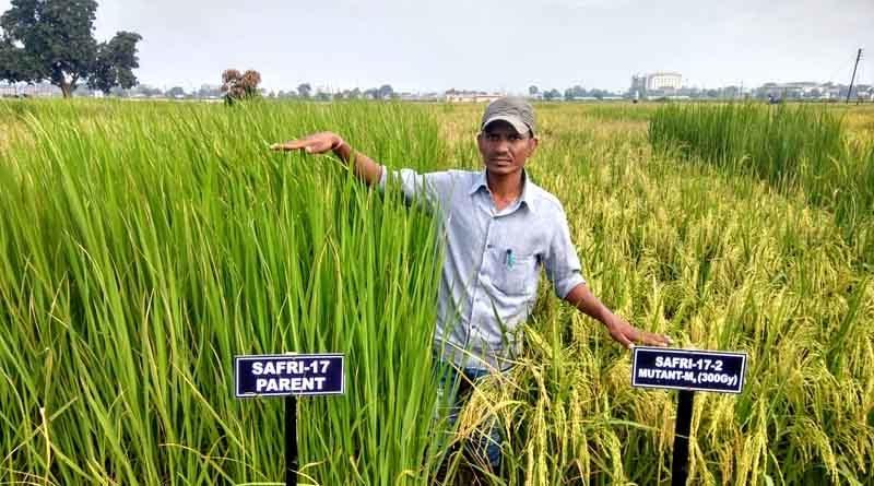 कृषि विश्वविद्यालय ने बार्क के सहयोग से विकसित की धान की दो नवीन म्यूटेंट किस्में