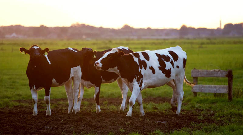 milk animal