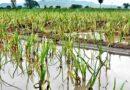 वर्षा के अंतराल से किसान चिंतित