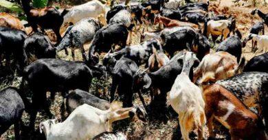 बारानी क्षेत्र में बकरी पालन अधिक फायदेमंद