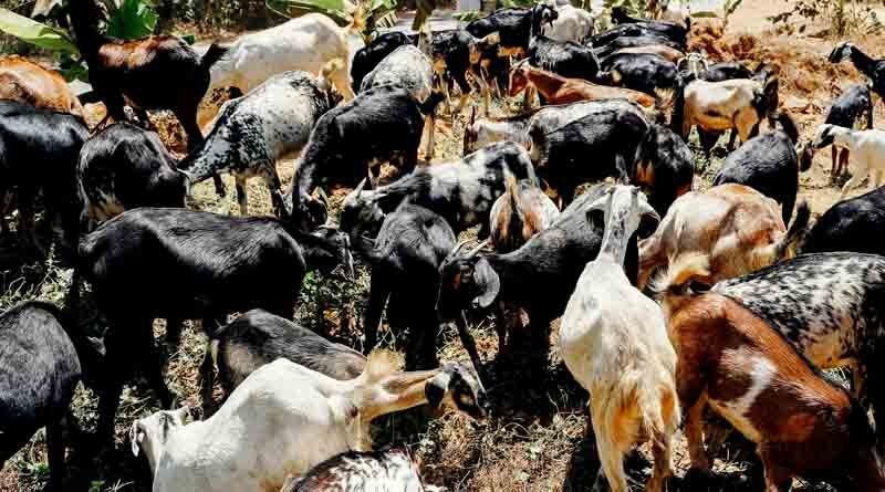 goat rearning