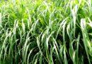 napair grass