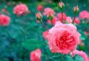 मौसमी फूलों की खेती