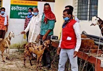 ''सिरोही'' बकरियों की उन्नत नस्ल उपलब्ध