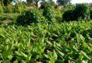 पत्ती मोड़क, सफेद मक्खी, थ्रिप्स से बचाएँ सब्जियों को