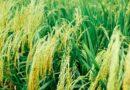 पंजाब सरकार द्वारा धान की खऱीद 27 सितम्बर से शुरू