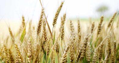 rabi grain