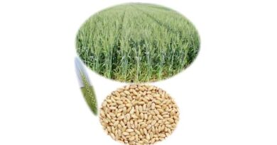 wheat varity