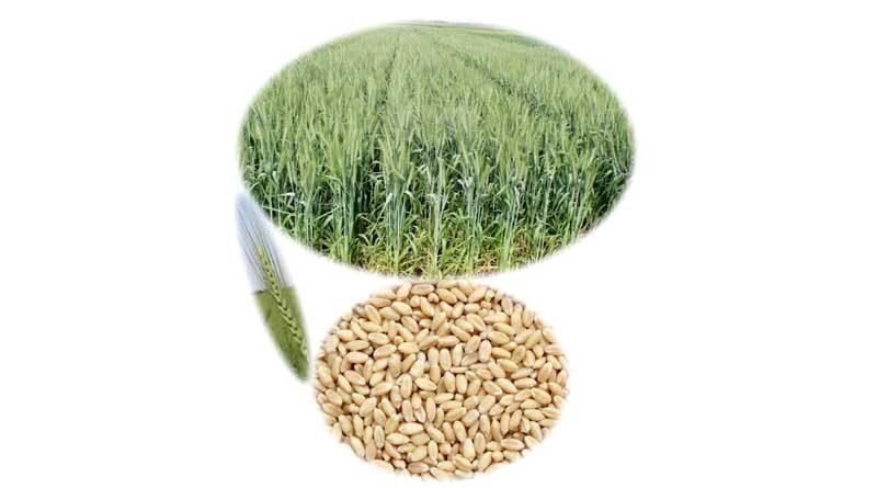 wheat varity