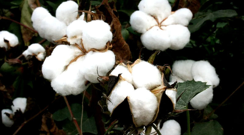 cotton farming