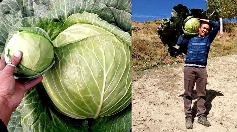 जैविक खेती से उगाया 17 किलो का पत्ता गोभी का फूल !