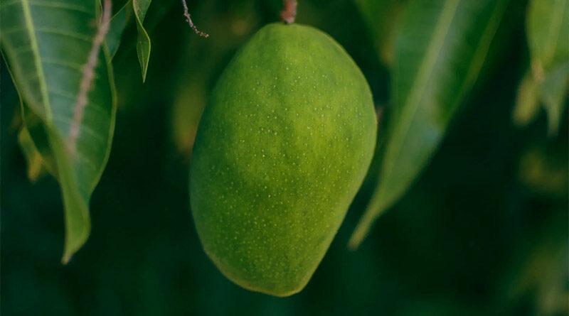 mango podha
