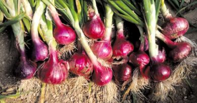 rabi onion