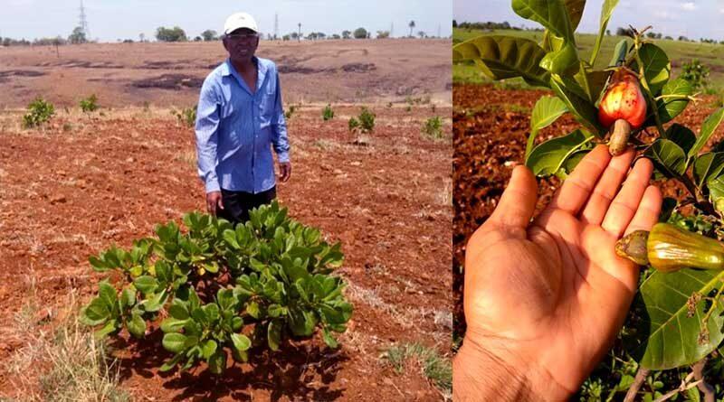 बैतूल जिले की पड़त भूमि के लिए उपयुक्त फसल है काजू