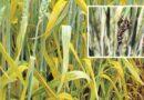 wheat rog