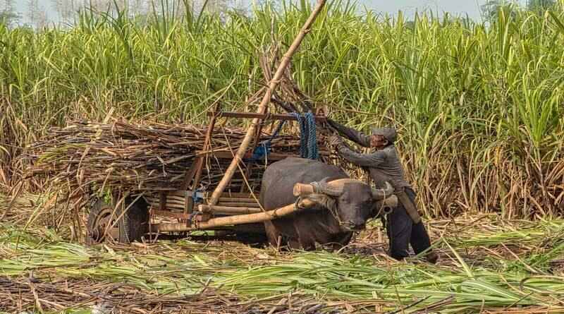 मंत्रिमंडल ने गन्नाक किसानों को 3,500 करोड़ रुपये की सहायता मंजूरी दी