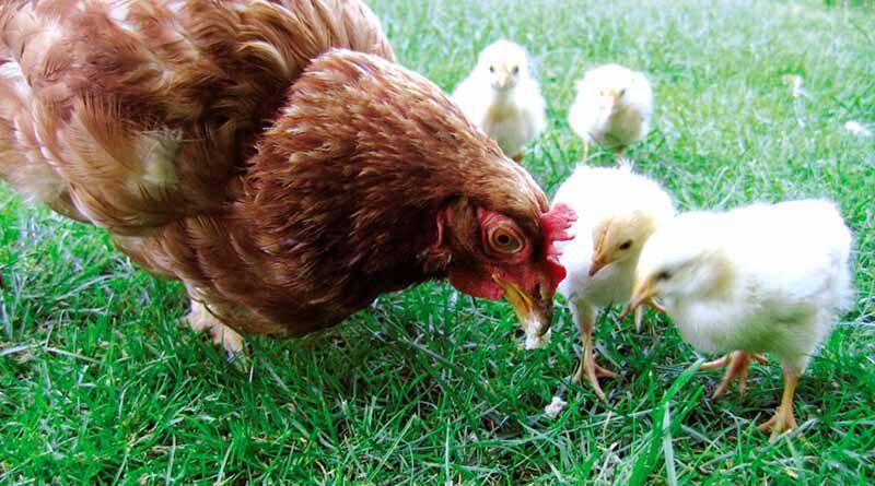 जाने मुर्गी पालन की सही विधि