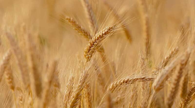 क्षेत्रीय केंद्र इंदौर द्वारा गेहूं उत्पादक किसानों को सलाह