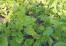 Farmers' increasing steps towards medicinal farming