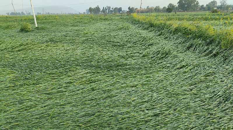 Damage Wheat crop