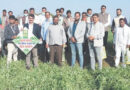 The green peas of Jabalpur waved abroad