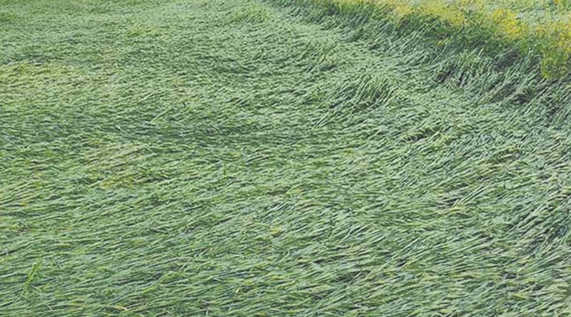 Rabi crops damaged due to unseasonal rains in the state
