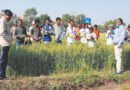 Wheat crop demonstration organized of Grow Plus