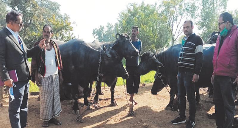 Azola increases milk production