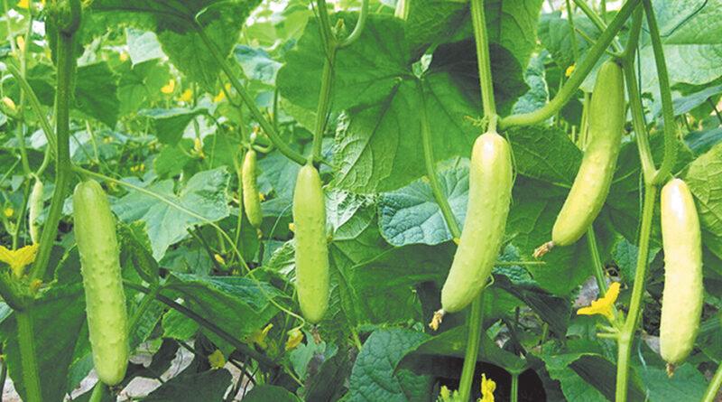 Advanced cucumber cultivation