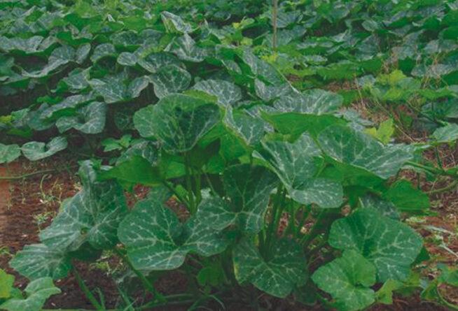 जायद में फसलों की देखरेख जरूरी