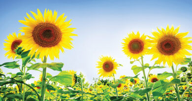 Get good yield from sunflower