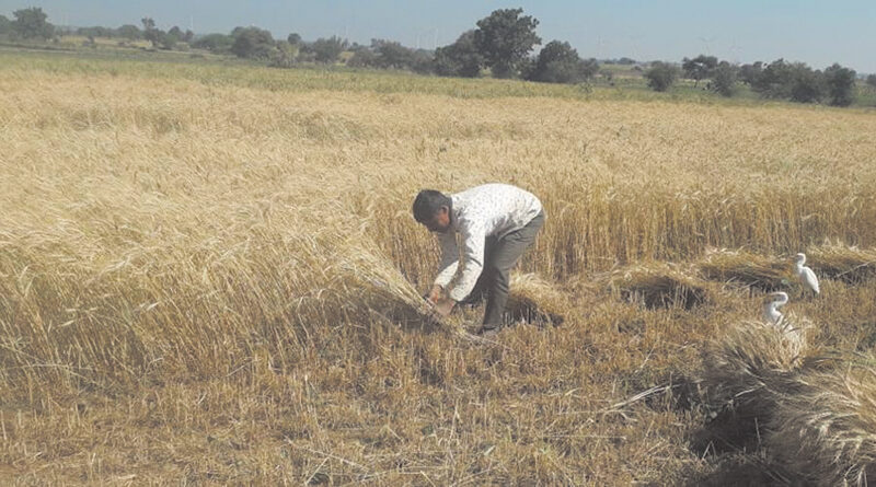 Wheat harvesting started in some districts of the state