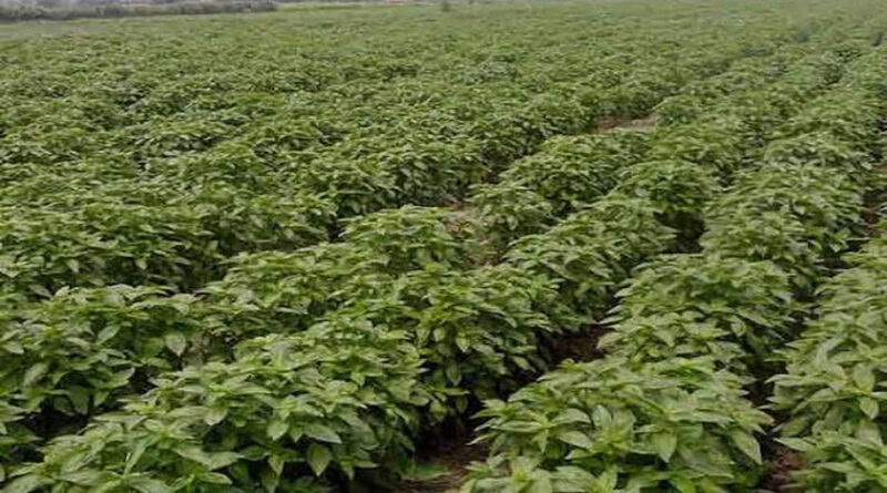 Basil cultivation is a better alternative to soybean