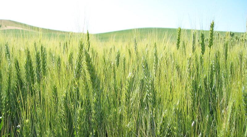 देश में रबी फसलों की बुवाई 622 लाख हेक्टेयर में होगी