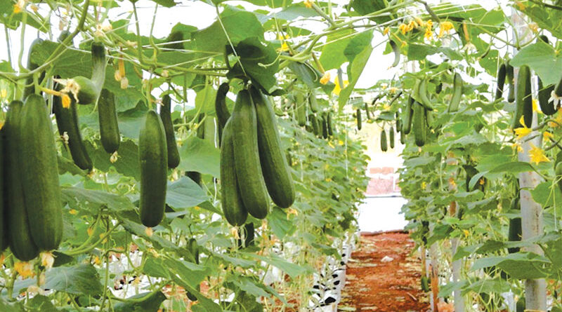 Zayed season vegetables and crops care