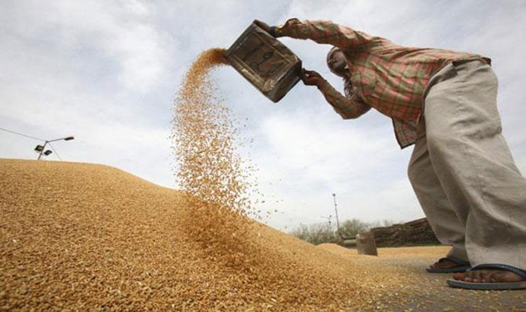 Wheat11